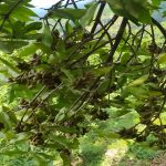 Kinh nghiệm trồng cây hồi giống của bà con miền núi