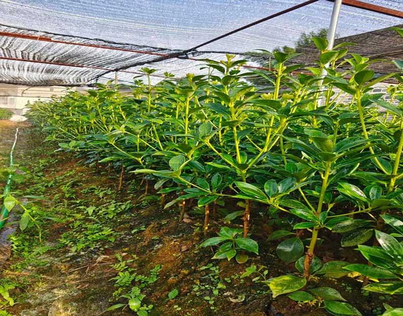 Nên trồng cây hồi ghép hay hồi thực sinh
