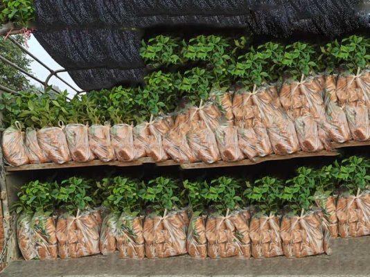 Trồng cây hồi giống bao lâu thu hoạch