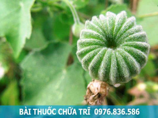 bài thuốc chữa bệnh trĩ từ cây cối xay