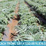 Cách trồng cây atiso cho năng xuất cao