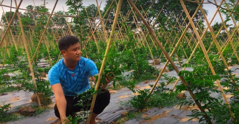 Mô hình trồng cây dược liệu cát sâm tại Tam Đảo