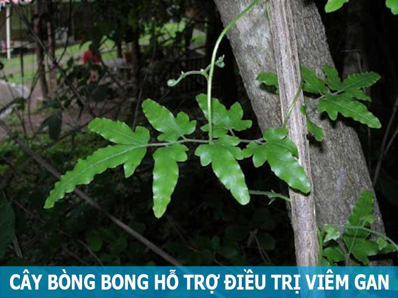 cây bòng bong hỗ trợ điều trị viêm gan