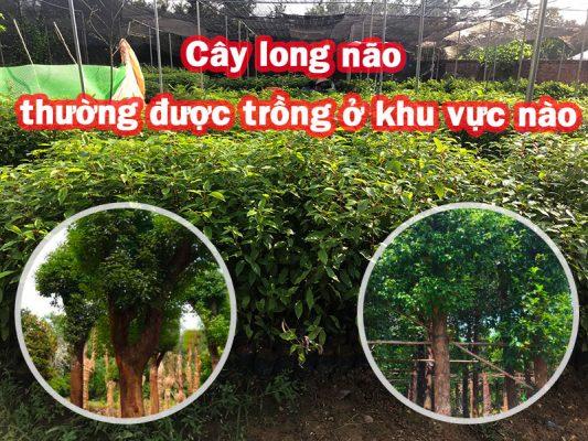 Cây long não thường được trồng ở khu vực nào