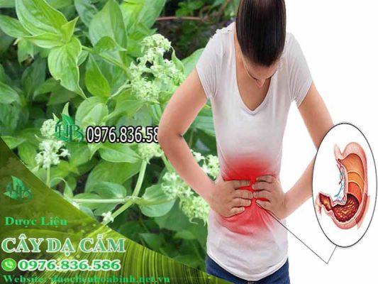 cây dạ cẩm chữa bệnh dạ dày
