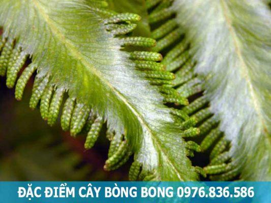 đặc điểm cây bòng bong