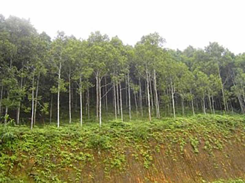 Rừng hồi thuần loài - vị trí chân núi