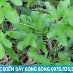 Cây bòng bong – tác dụng của cây bòng bong