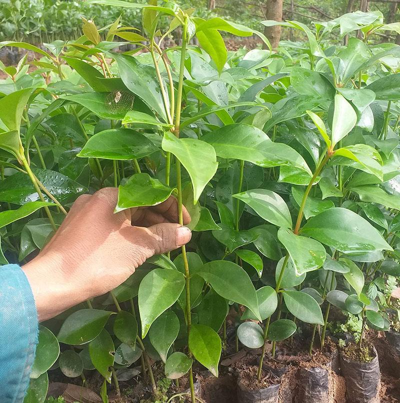 Top địa chỉ mua giống cây hồi đảm bảo chất lượng