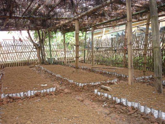Xử lý hạt giống cây hồi và gieo ươm