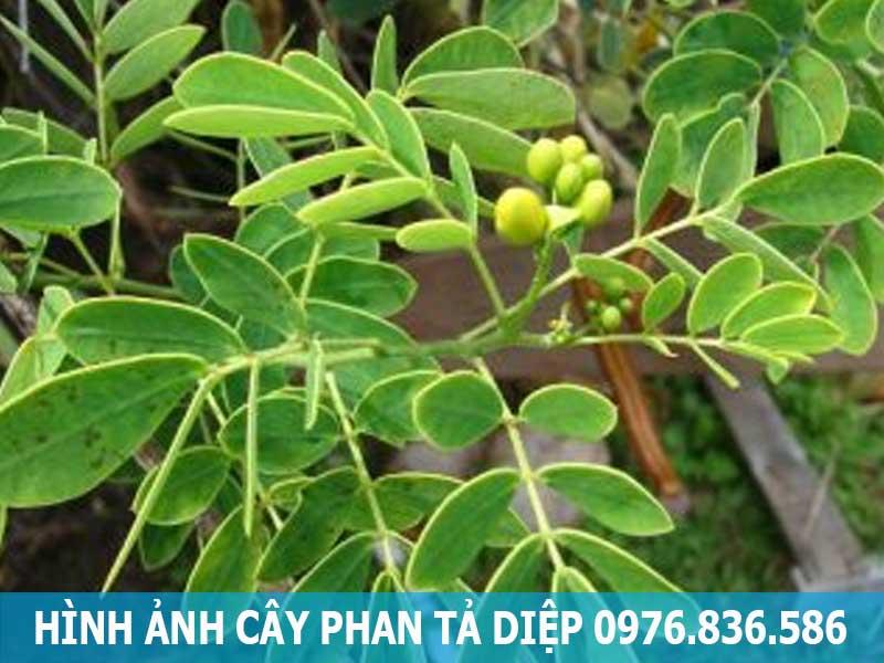 hình ảnh cây phan tả diệp