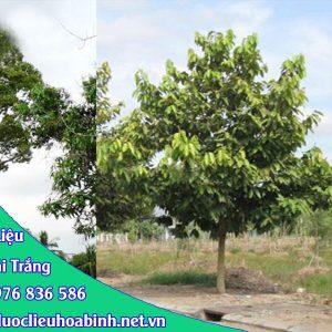 Hình ảnh đặc điểm cây dầu rái trắng