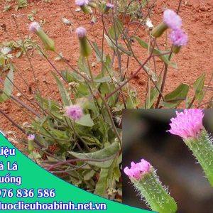 Hình ảnh đặc điểm cây rau má lá rau muống