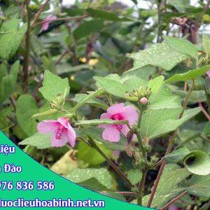 Hình ảnh đặc điểm ké hoa đào