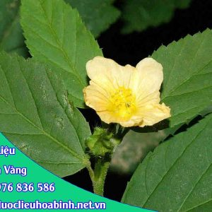 Hình ảnh đặc điểm ké hoa vàng