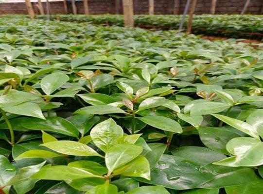 Kỹ thuật trồng cây hồi tại Miền Bắc