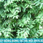 Địa chỉ mua bán cây bòng bong tại Hà Nội