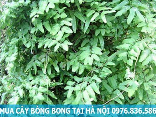 mua cây bòng bong tại Hà Nội