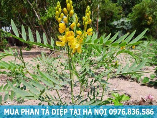 mua cây phan tả diệp tại Hà Nội