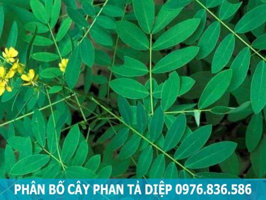 phân bố cây phan tả diệp