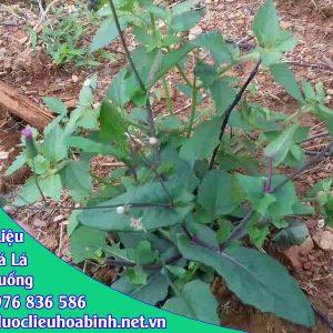 Tác dụng cây rau má lá rau muống
