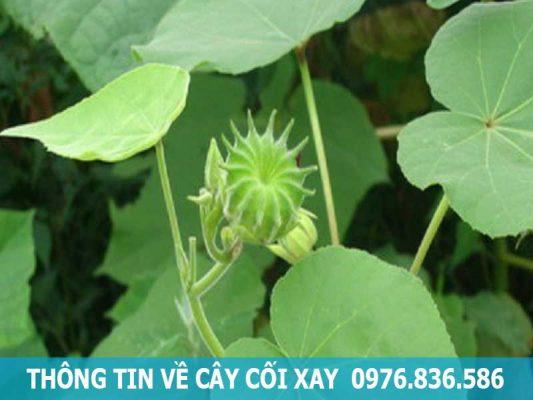 thông tin về cây cối xay
