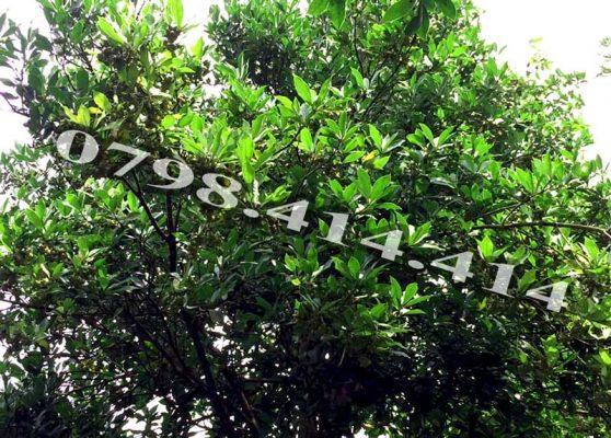 Thời gian và cách thu hoạch giống cây hồi