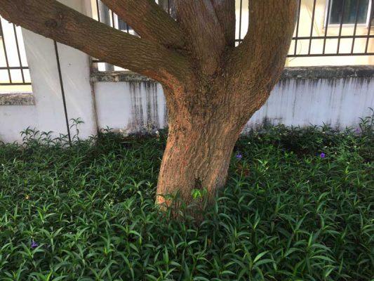 Trồng cây giống Long Não bán cho ai