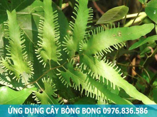 ứng dụng cây bòng bong