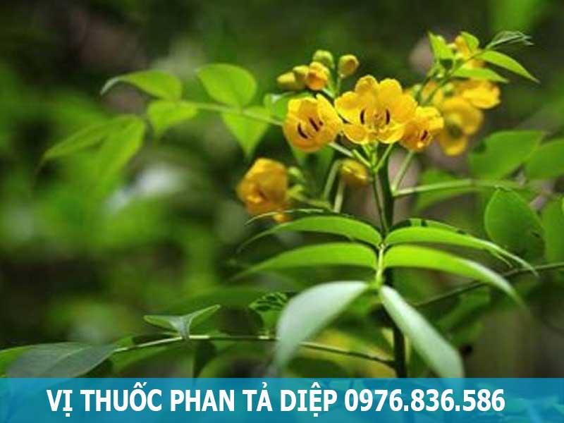 vị thuốc cây phan tả diệp