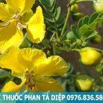Mua cây phan tả diệp tại tp.hcm