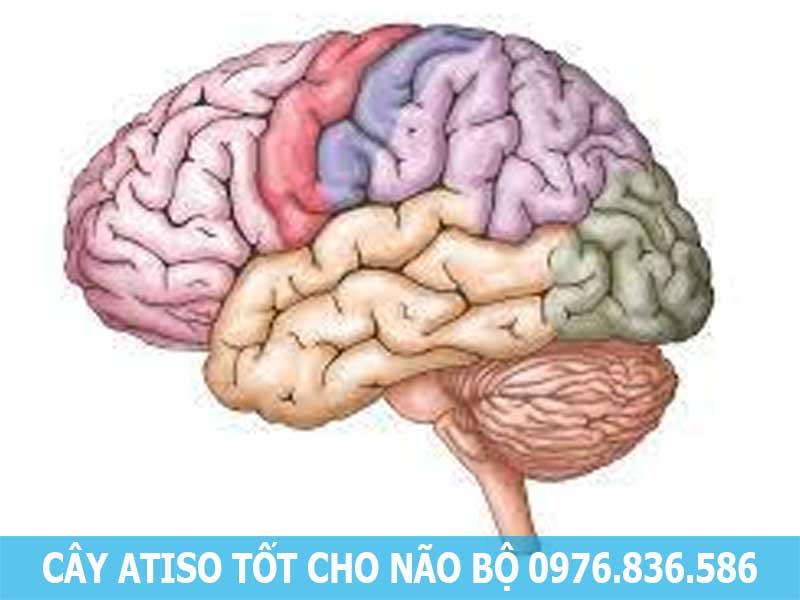 cây atiso tốt cho não bộ
