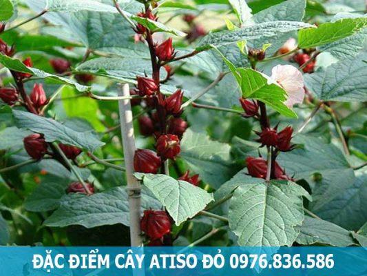 đặc điểm cây atiso đỏ