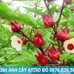 Đặc điểm và công dụng của atiso đỏ đối với sức khỏe