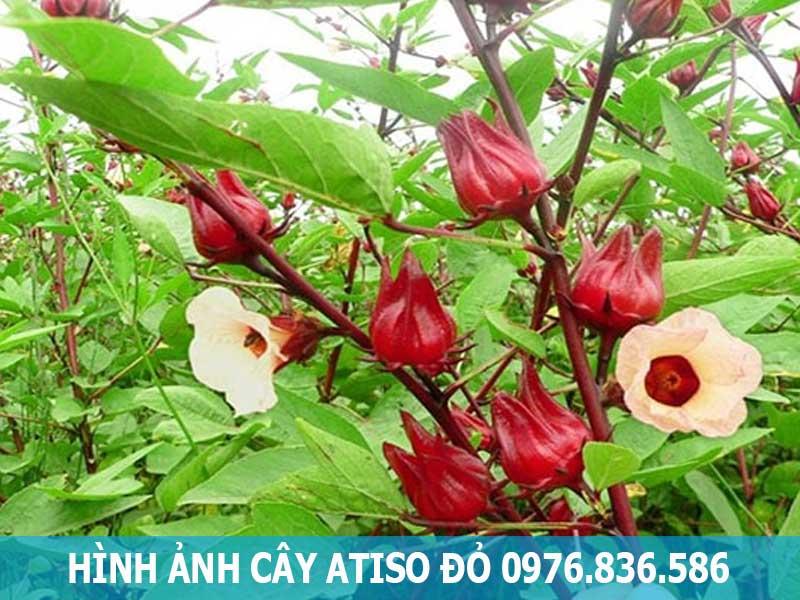 hình ảnh cây atiso đỏ