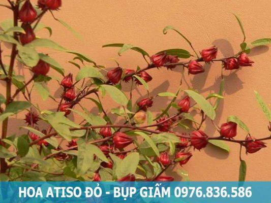 hoa atiso đỏ-bụp giấm