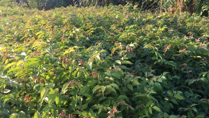 Kỹ thuật trồng cây giống lát hoa