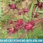 Sử dụng cây atiso đỏ có tác hại gì không?