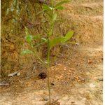 Phun thuốc phòng trừ sâu bệnh hại cho cây hồi