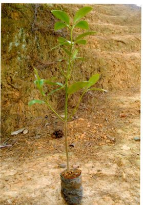 Phun thuốc phòng trừ sâu bệnh hạicho cây hồi