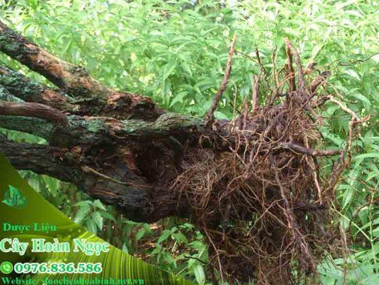 rễ cây hoàn ngọc ngâm rượu