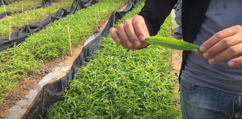 Địa chỉ cung cấp cây giống sa nhân tím