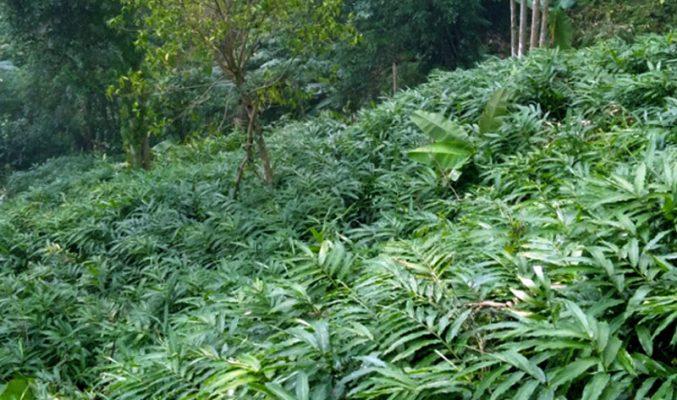 Kỹ thuật trồng và chăm sóc cây sa nhân tím