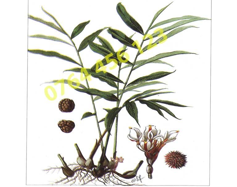 Hướng dẫn nhân giống cây sa nhân tím từ hạt