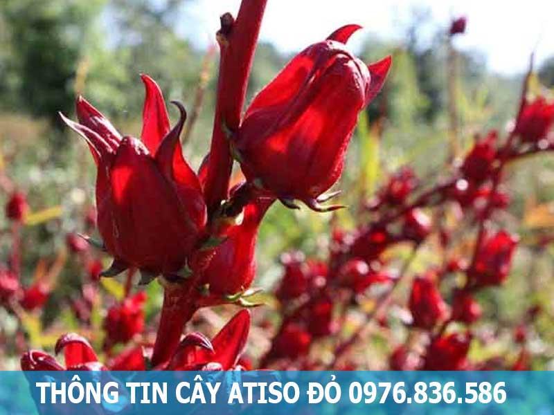 thông tin về cây atiso đỏ