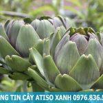Phân loại cây atiso đà lạt với cây atiso đỏ