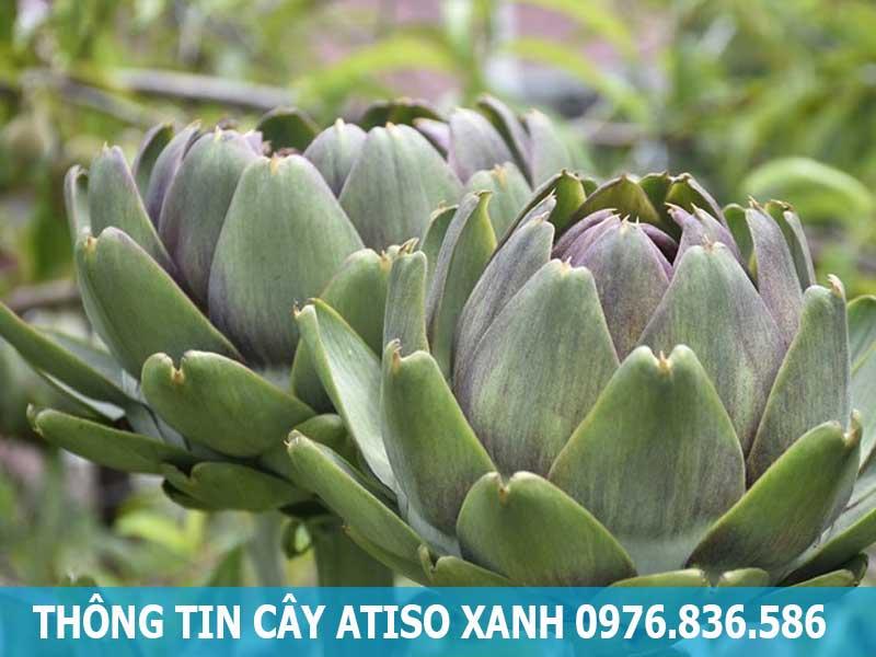 thông tin cây atiso xanh