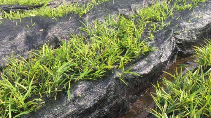 Trồng cây sa nhân tím bao giờ được thu hoạch