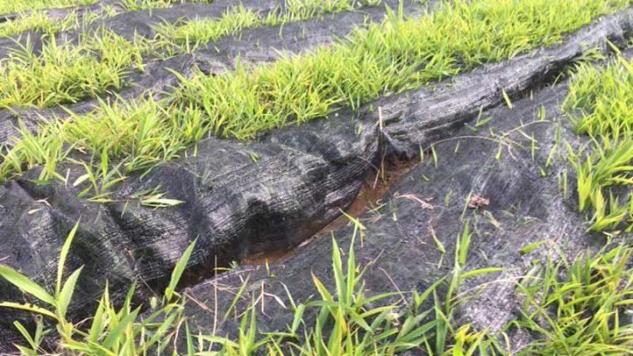 Thời gian thu hoạch cây sa nhân tím kể từ khi trồng